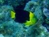 Ange des Caraïbes - Holocanthus tricolor