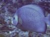 Ange gris - Pomacanthus arcuatus