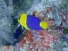 Ange nain à deux bandes - Centropyge bicolor