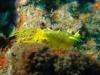 5-Concombre-de-mer-jaune3