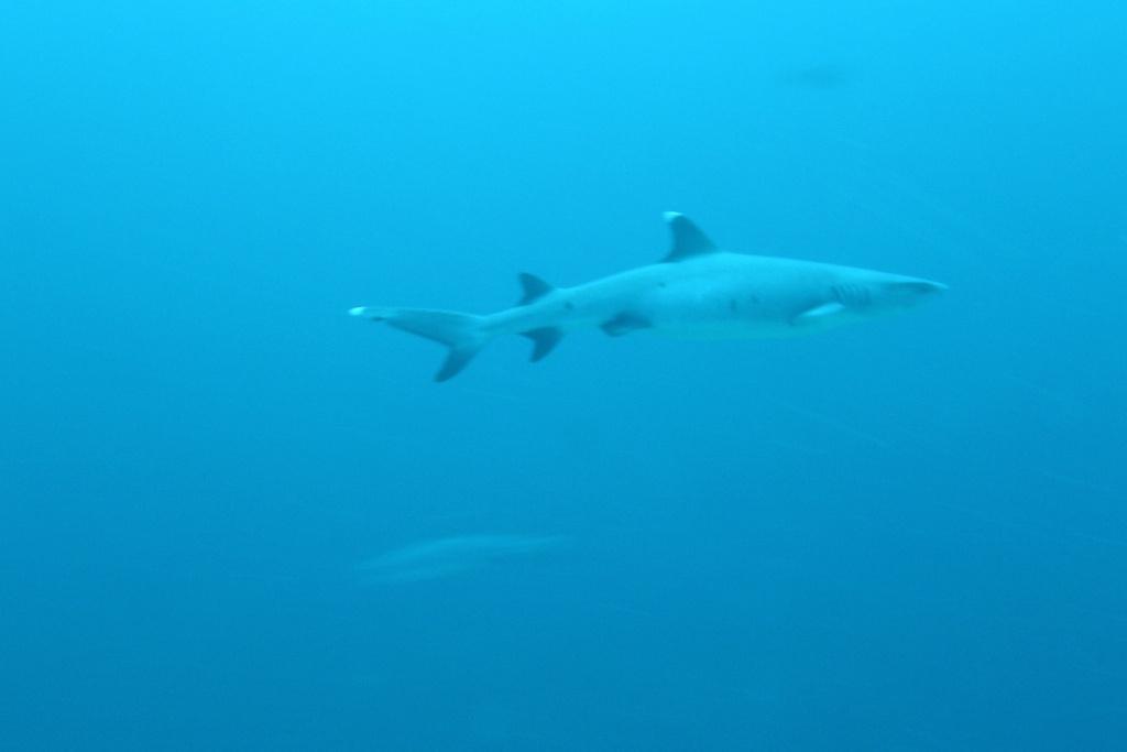 Requin aileron blanc du large