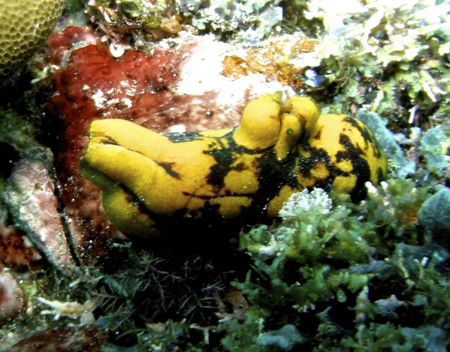 Ascidie-tache-dencre-Polycarpa-aurata-Mer-de-Chine