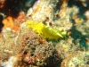 3-Concombre-de-mer-jaune1