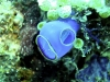 Claveline translucide bleue