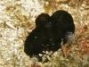 Ascidie noire