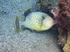 Baliste à marges jaunes - Pseudobalistes flavimarginatus