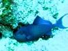Baliste bleu - Odonus niger