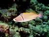 Baliste picasso - Rhinecanthus assasi