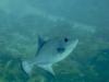 Baliste océanique  Canthidermis sufflamen