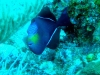 Baliste noir - Melichthys niger