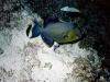 Baliste bleu strié - Pseudobaliste fuscus