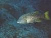 Bec de cane à nageoires oranges - Lethrinus erythracanthusP
