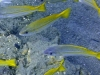 Brème de mer (Mamilas)