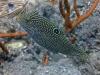 Canthigaster tacheté