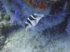 Canthigaster à selle noire