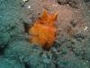 Squille multicolore ou crevette mante