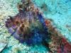 Concombre-de-mer-jaune