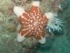 Etoile-de-mer-Choriaster-granulatus