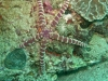 Etoile-de-mer-verruqueuse
