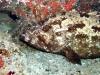 Mérou marbré brun