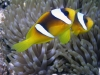 Clown à 2 bandes - Amphiprion bicinctus