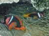 Clown bistré - Amphiprion melanopus