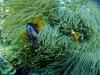 Clown d'Australie - Amphiprion rubrocinctus