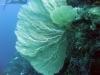 3-Supergorgia mollis