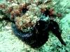 Hippocampe de Kellog