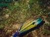 Crénilabre paon -Symphodus tinca