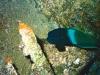 Girelle de Mer Rouge  - Coris aygula