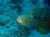 Poisson Napoléon - Cheilinus undulatus