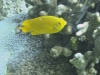 Demoiselle jaune - Chromis analis
