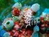 Limace dragon - Phyllodesmium briareum