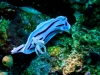 Doris de Willan - Chromodoris willani de Willani -