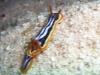 Doris quadricolor -Chromodoris quadricolor