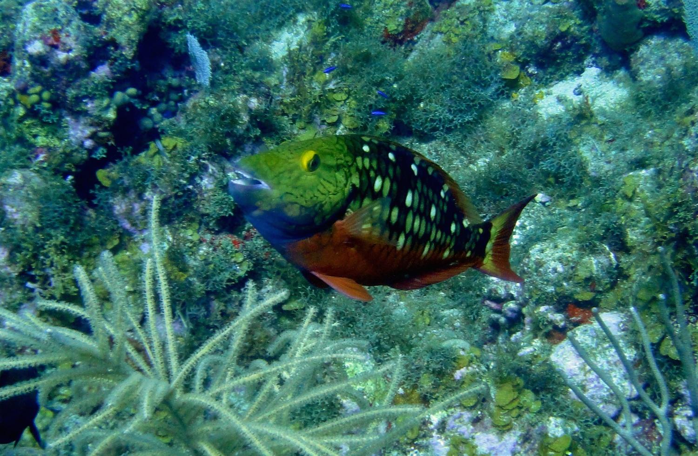 Perroquet feu tricolore - Sparisoma viride