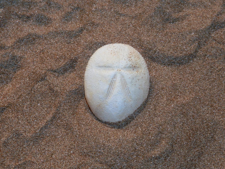 Plagiobrissus de Costa - Plagiobrissus costai