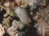 Poisson ange lyre zébré de l'Océan Indien