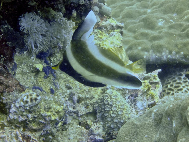 Poisson cocher du Pacifique