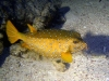 Poisson-coffre jaune