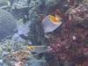 Chaetodon-xanthurus