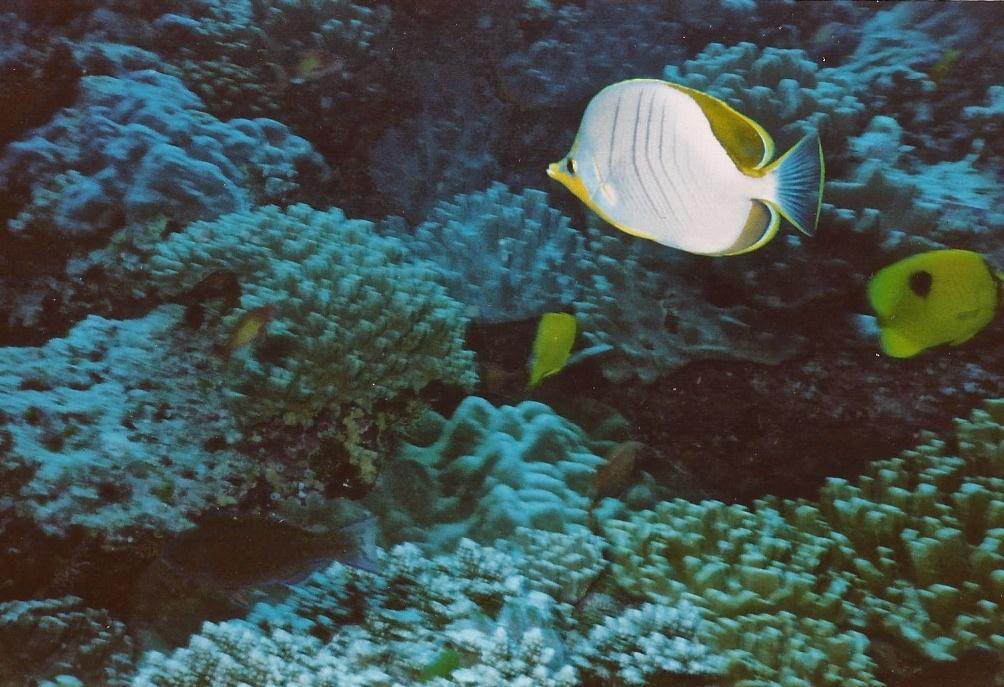 Poisson papillon à tête jaune