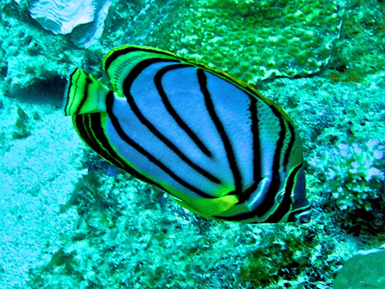 Poisson papillon de Meyer