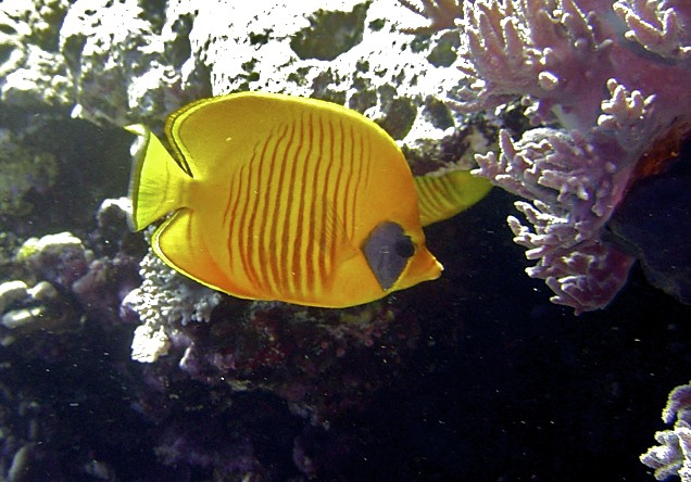 Poisson Papillon jaune masqué