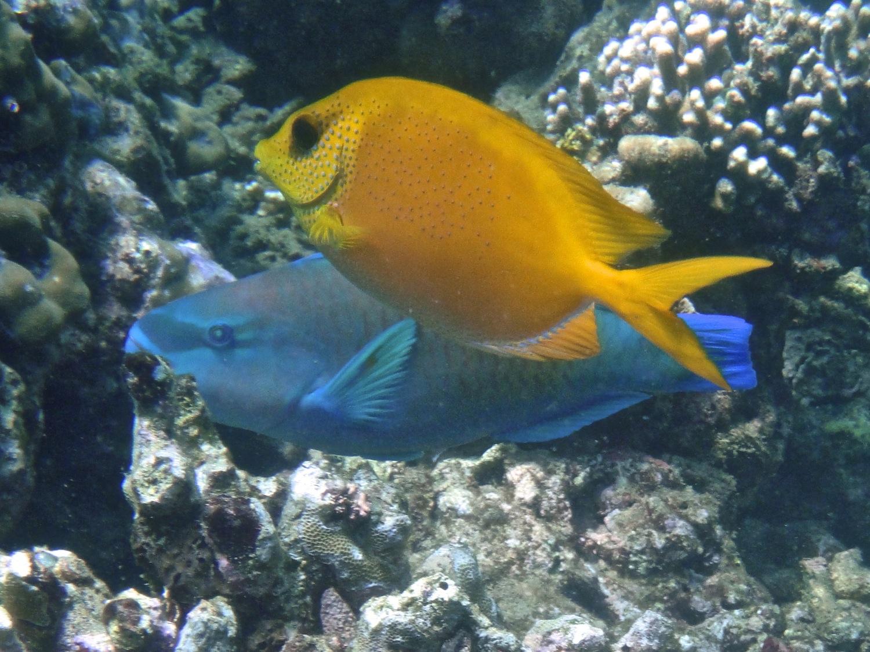 Poisson lapin corallien indonésien