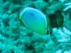 poisson-papillon pourpre ou à 3 bandes