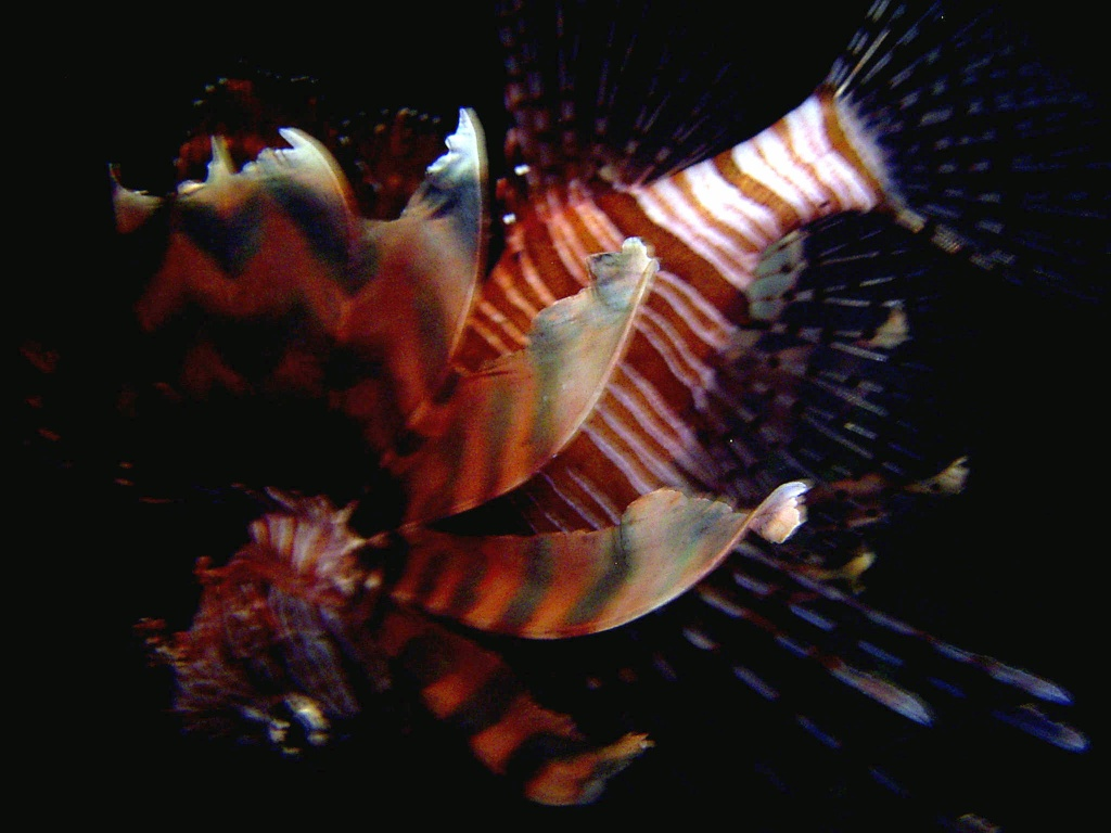 Pteroïs volitans