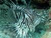 Poisson scorpion lunata - Pterois lunata