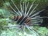 Rascasse volante étoilée - Pteroïs radiata